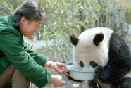 """""""熊猫小姐""""和世界级萌宠的故事"""