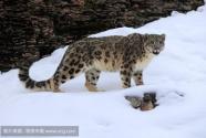 雪豹频现甘肃盐池湾保护区
