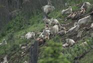 秦岭高山上的羚牛群