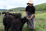 四川藏鄉牦牛產業升級助牧民增收