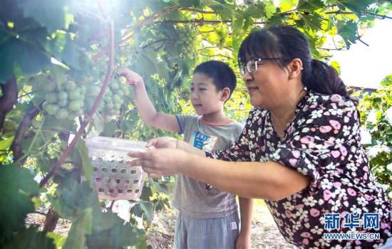 """(社会)(2)""""京南吐鲁番""""的葡萄熟了"""
