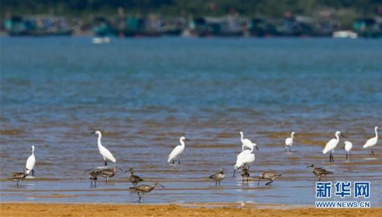 (环境)(6)海南儋州:光村银滩候鸟飞