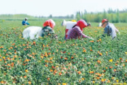 内蒙古巴彦淖尔:盐碱滩变身米粮川