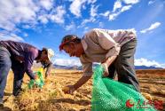 西藏日喀則市艾瑪鄉:土豆滿田間 幸福沉甸甸